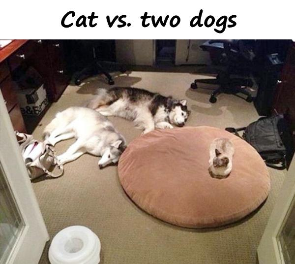 Cat vs. two dogs