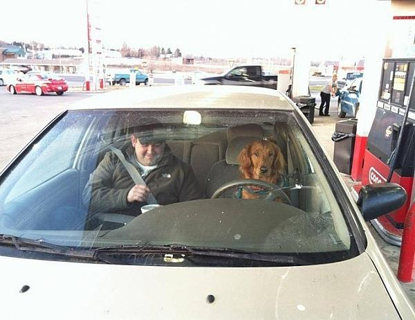 Dog drives a car