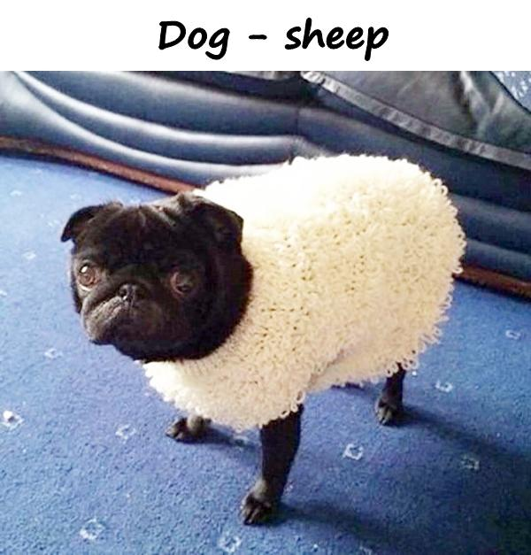 Dog - sheep