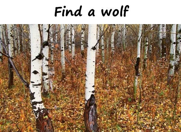 Find a wolf