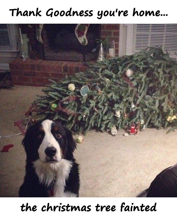 Thank Goodness you're home... the christmas tree fainted
