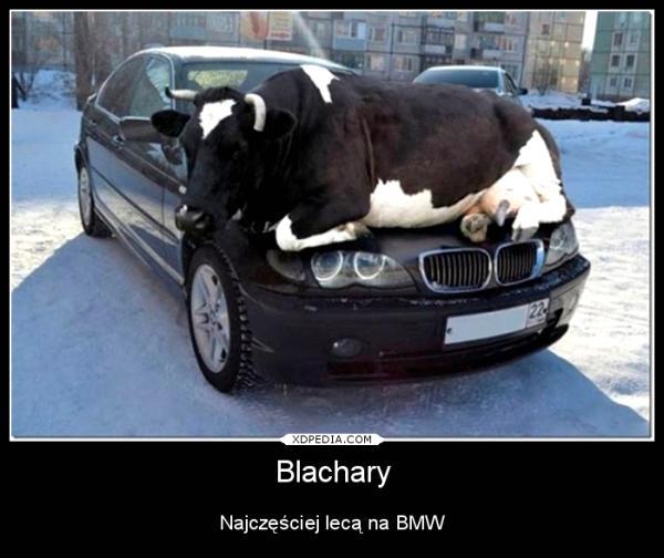 Blachary Najczęściej lecą na BMW Tagi: demotywator, krowa, bmw, demot, auta, samochody, blachary.