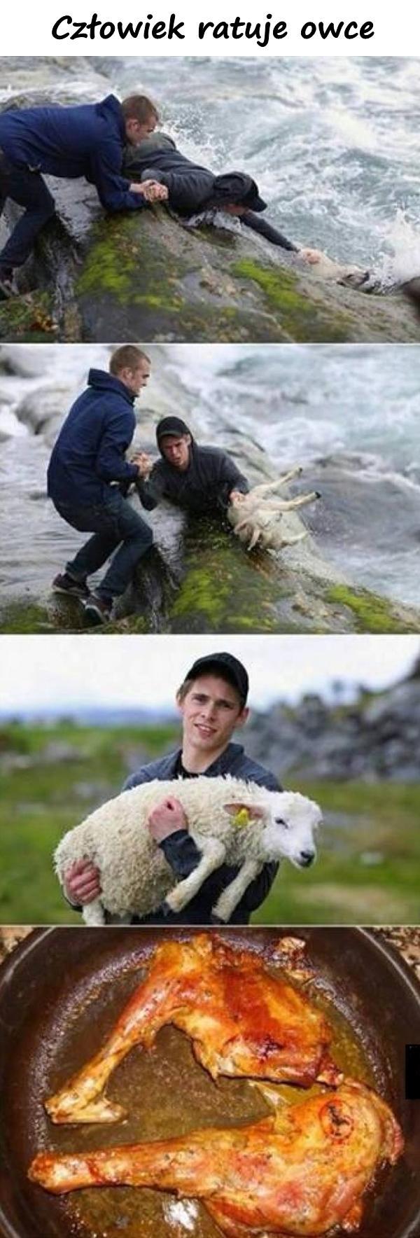Człowiek ratuje owce