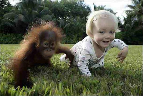 Człowieku czy wiesz, że od małpy pochodzisz