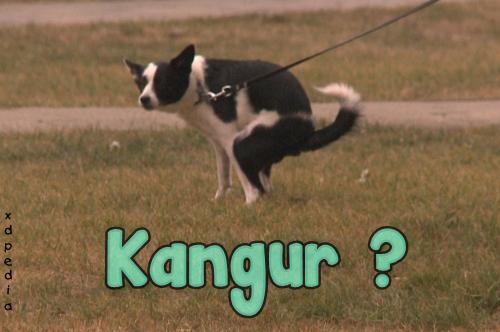 Kangur odmiana polska.