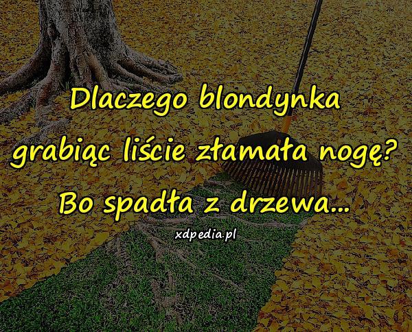 Dlaczego blondynka grabiąc liście złamała nogę? Bo spadła z drzewa...