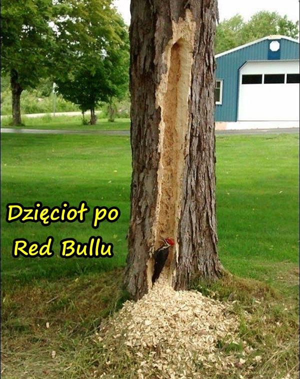 Dzięcioł po Red Bullu