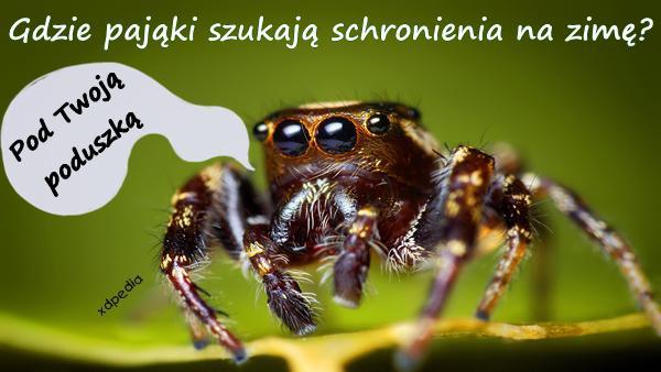 Gdzie pająki szukają schronienia na zimę? Pod Twoją poduszką