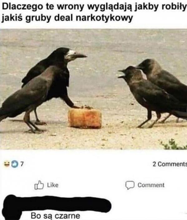 Dlaczego te wrony wyglądają jakby robiły jakiś gruby deal narkotykowy? Bo są czarne!