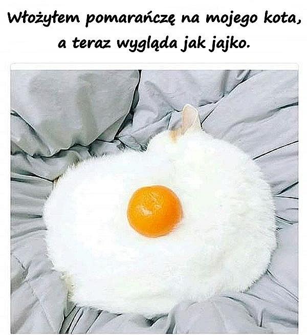 Włożyłem pomarańczę na mojego kota, a teraz wygląda jak jajko