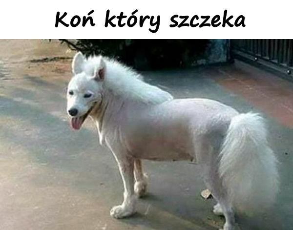 Koń który szczeka