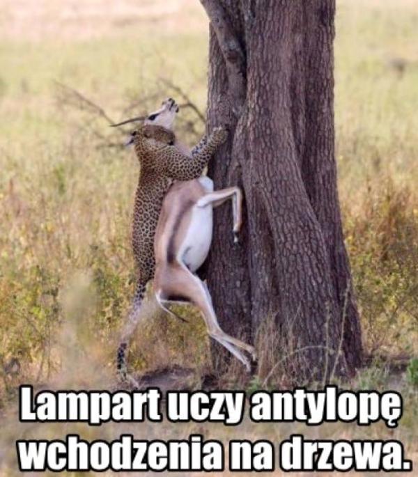 Lampart uczy antylopę wchodzenia na drzewo