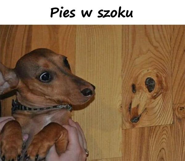 Pies w szoku