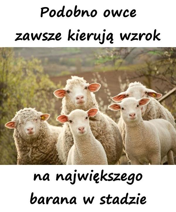 Podobno owce zawsze kierują wzrok na największego barana w stadzie
