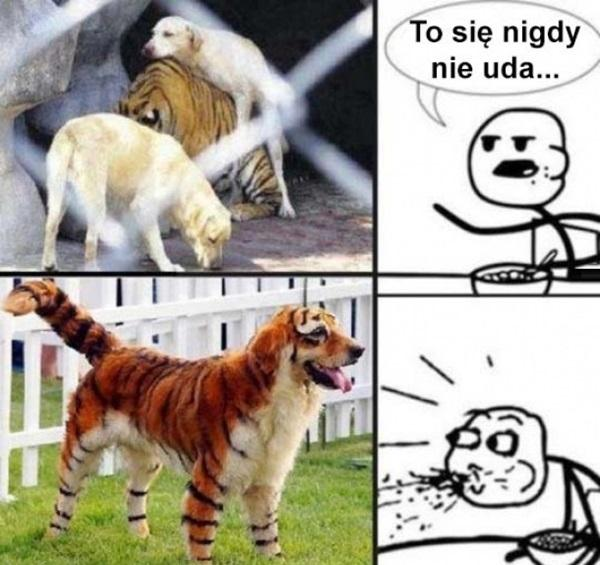 Połączenie psa z tygrysem. To się nigdy nie uda.