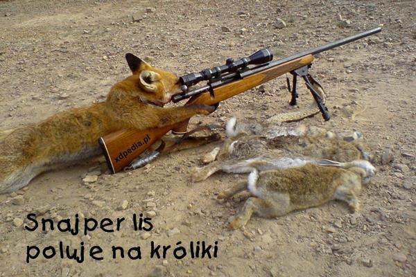 Snajper lis poluje na króliki
