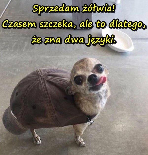 Sprzedam żółwia! Czasem szczeka, ale to dlatego, że zna dwa języki.