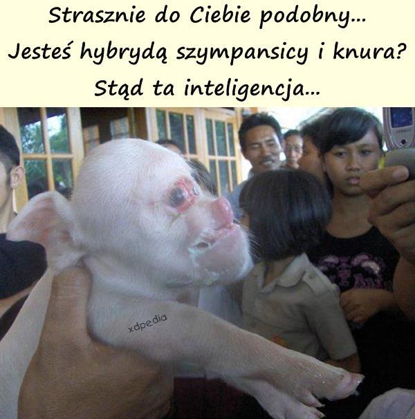 Strasznie do Ciebie podobny... Jesteś hybrydą szympansicy i knura? Stąd ta inteligencja...