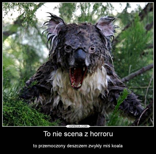 To nie scena z horroru to przemoczony deszczem zwykły miś koala