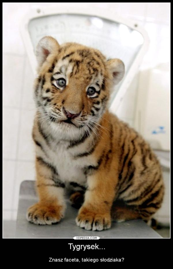 Tygrysek Znasz faceta, takiego słodziaka?