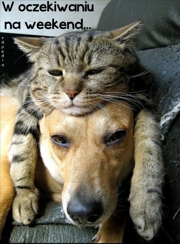 Mem Kot Słodziak Piesek Kwejk Pies śmieszne Humor Kociak