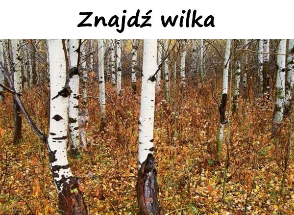 Znajdź wilka